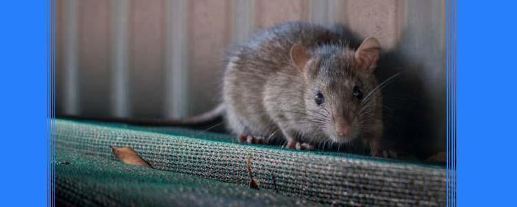 Rodent Control Bongaree